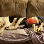 Dogs Sleeping On A Sofa